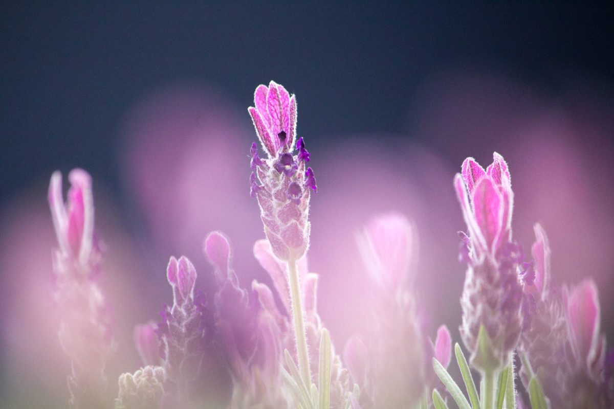 purple french lavenders close up photography